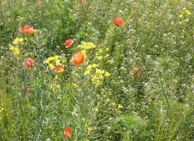 Wildflowers Clachna Ben